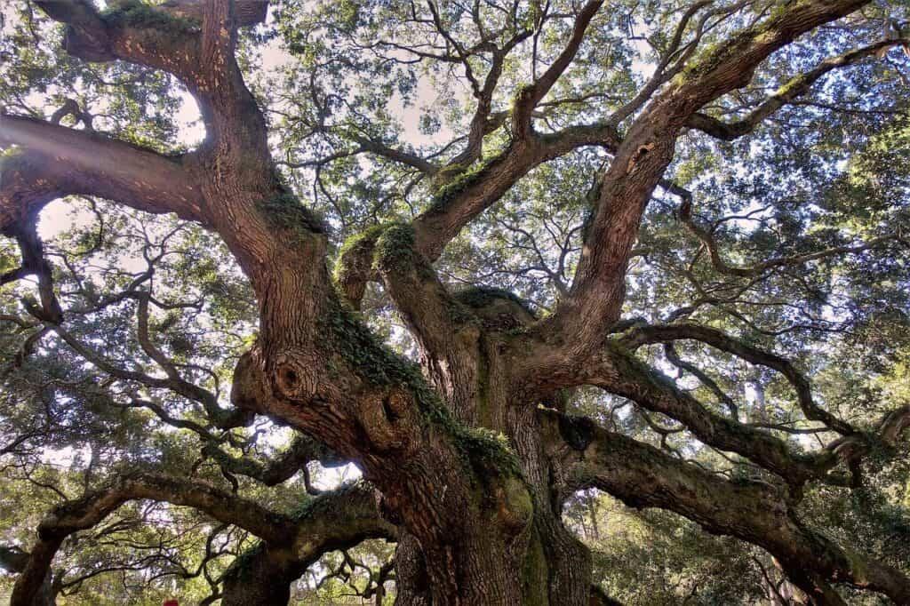 Angel Oak Tree from below