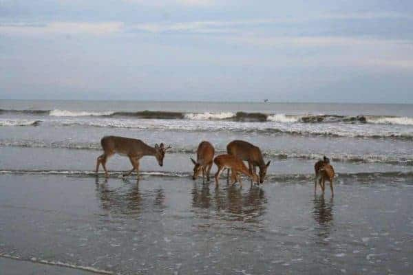 wildlife watching things to do on kiawah island