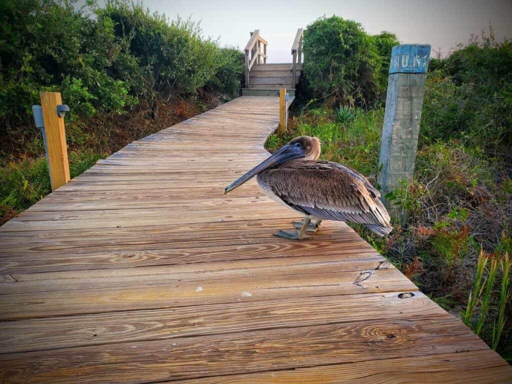 Kiawah Island beach bird