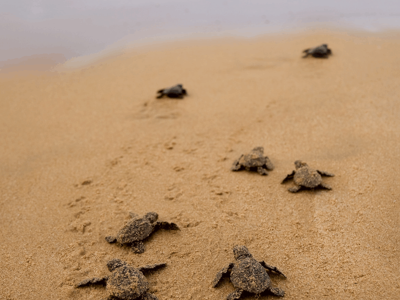 loggerhead turtles hatching