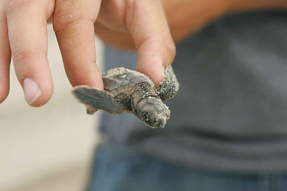 kiawah-island-loggerhead-turtle-hatching