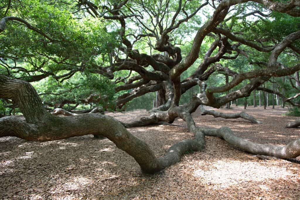 looking up at angel oak tree