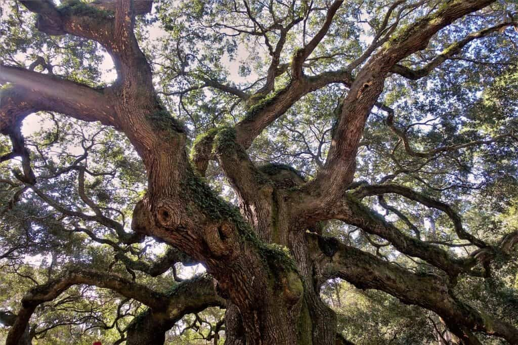 Angel Oak Tree from below